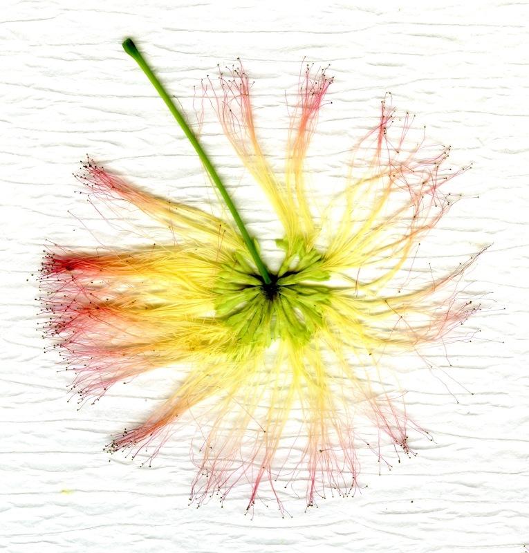Mimosa003 3