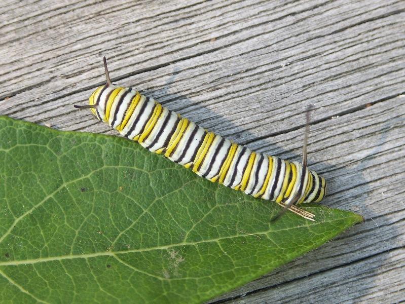 Monarch pillar