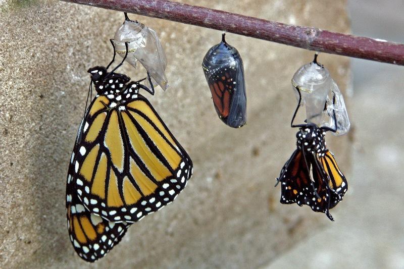 Monarch trio