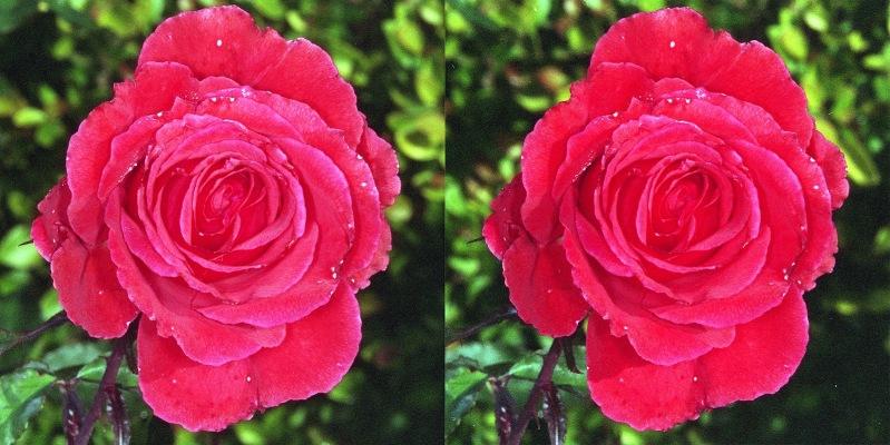 Rose1 stereo