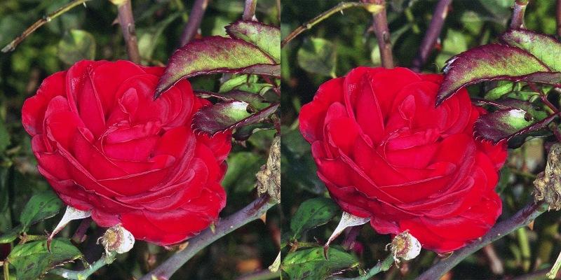 Rose2 stereo